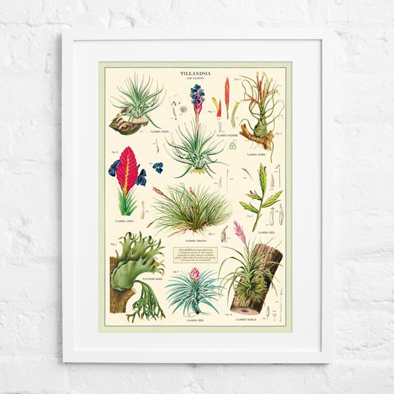 Air Plants Cavallini Wrapping Paper